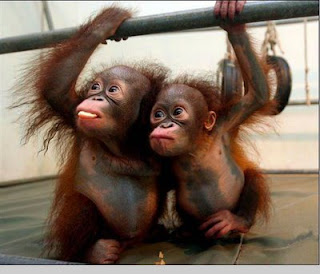 2 cute young baby orangutans
