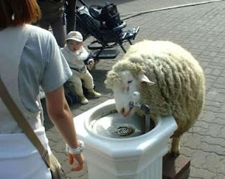 funny sheep photo drinking water from a fountain amazing