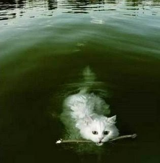funny cat photos playing fetch with stick and swimming