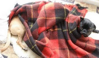 cute puppy dog photos pug dg appearing from under a blanket looks two tone with really long body but two dogs