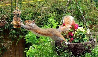 funny squirrel photos leaping or stretching to get to the food maybe nuts