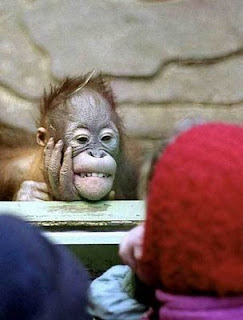 funny orangutan photo in a staring contest with kids at the zoo