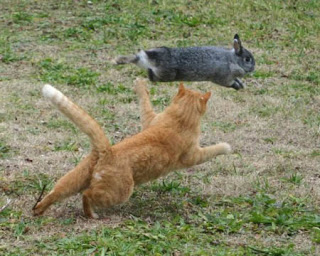 funny animal pictures ginger cat chasing gray bunny rabbit photo