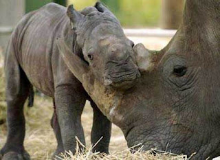 funny rhino picture photo of cute young with mother