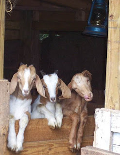 funny goat pictures leaning outside barn to have photo taken