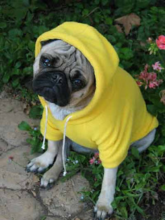 funny cute photo of pug dressed in yellow hoodie looks like gangsta or boxer