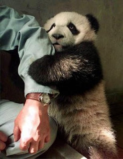 funny young cute panda bear hugging keepers ar with gorgeous beautiful eyes picture