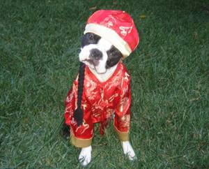 funny looking dressed up costume peking dog cute photo
