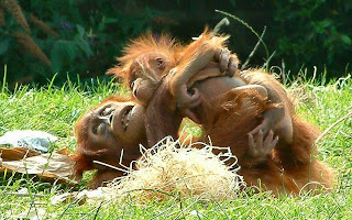 cute and funny playing orangutans who look just a little odd