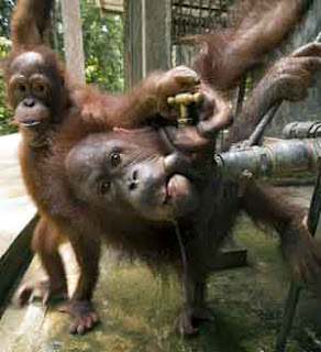 really funny orangutans photo drinking form tap while other one turns it on for him