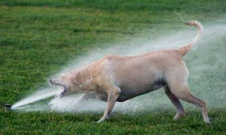 funny photo of dog drinking from hard sprinkler