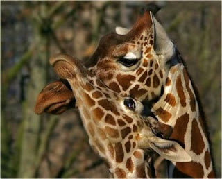 photo of two cute giraffes cuddling