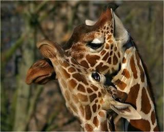 photo of two cute giraffes cuddling