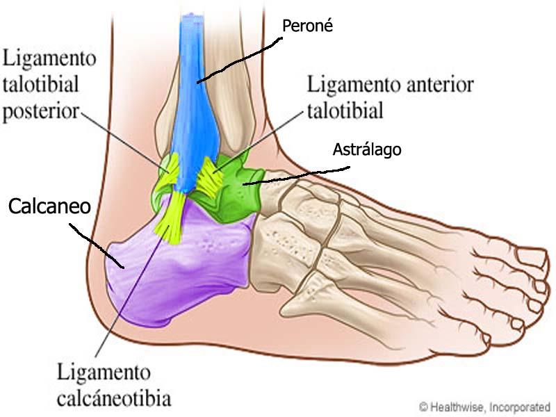 Tobillo/pie - anatomia fácil