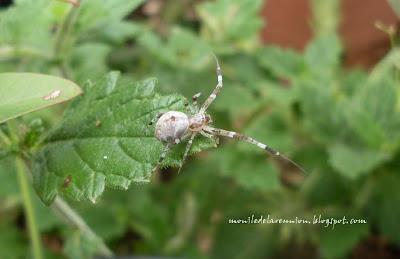 Mon le de la r union petites araign es du jardin for Jardin 10mg uses