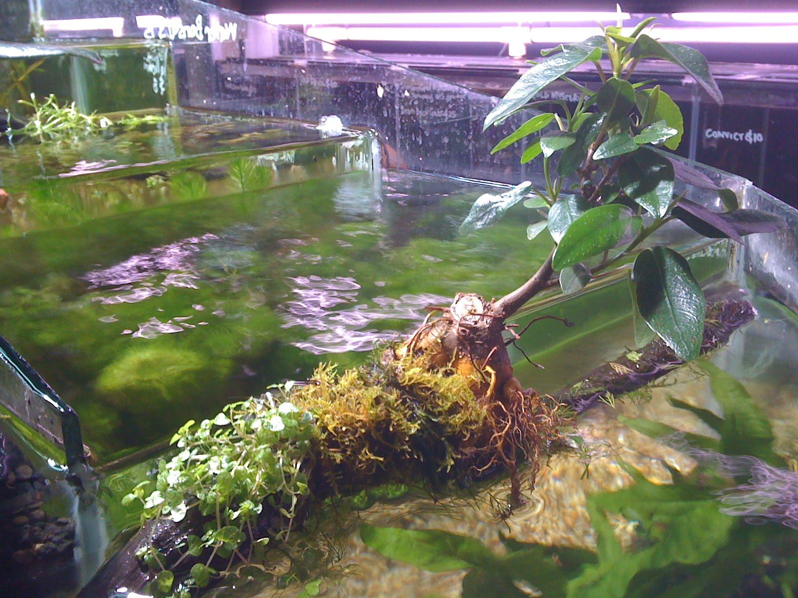 Aquadisiac news new water bonsai for Fish ponds sydney