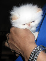Flame Point Kitten She is a flame point himalayan