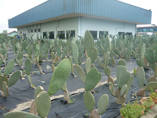 cactus being cultivated