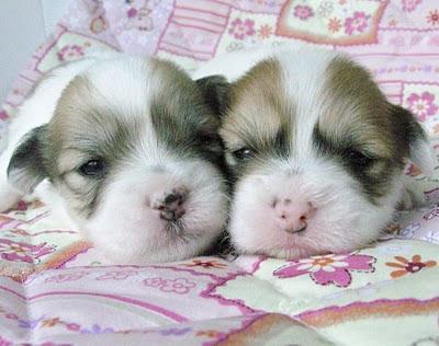 Coton de Tuléar,élevage chiots coton de tulear lof bébés cotons à réserver disponibilités  nantes bretagne vendée paris chiens de race