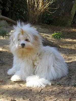 Coton de Tuléar,élevage chiots coton de tulear lof nantes bretagne vendée paris chiens de race id=
