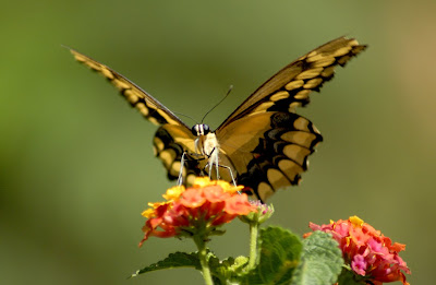 Butterfly Wallpapers 0105