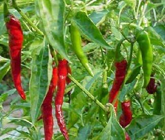 lombok merah capsicum annum l merupakan tanaman hortikultura sayur