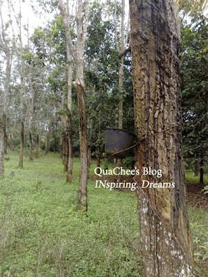 kampung, rubber tree