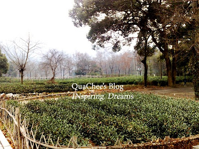 hangzhou, things to do, tea plantation