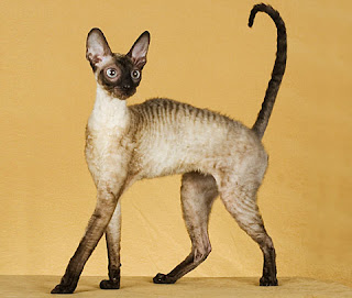 Cornish Rex cats ideal weight