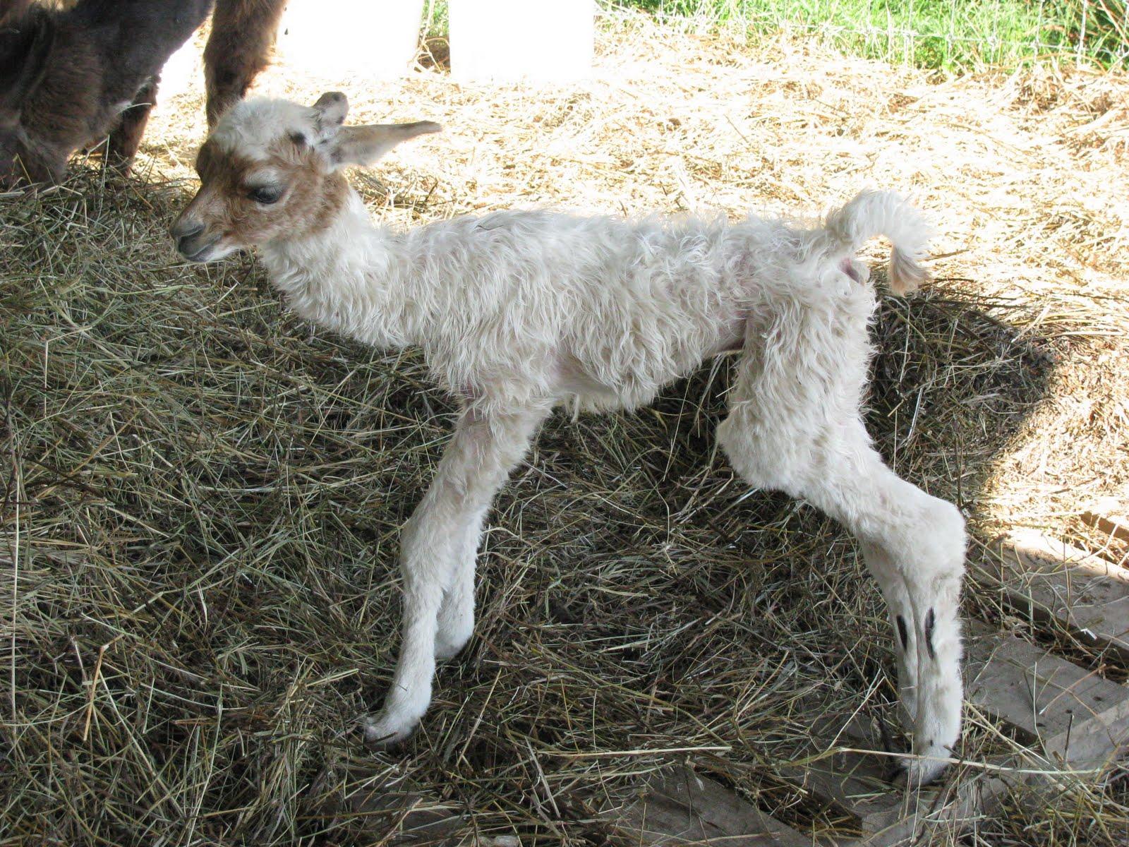 Cute Baby Llama Llama and she told me to