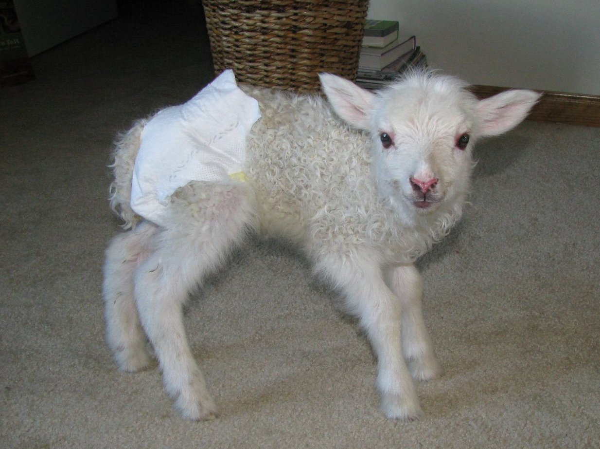 Dispatches from Can of Duck: Diapers for goat kids and lambs