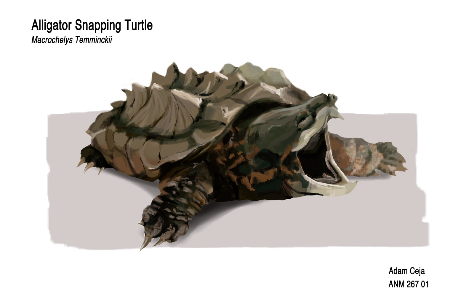 how to kill an alligator snapping turtle