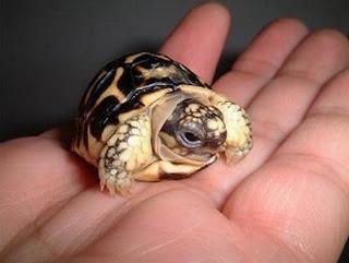 Tarta rughe piccole regole per piccole tartarughe for Tartarughe appena nate