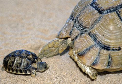 Tarta rughe lo svezzamento for Terrario per tartarughe neonate