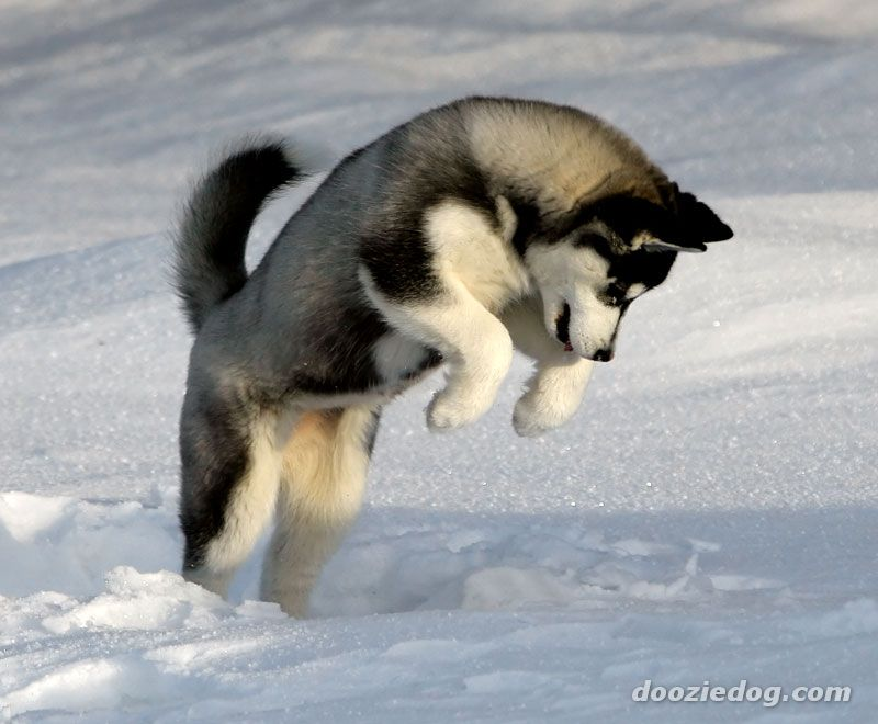 Siberian Husky Puppy in Snow