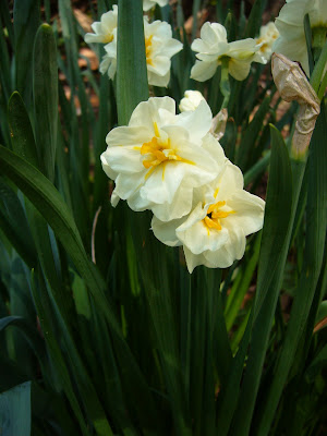 Daffodil at 2 Green Acres