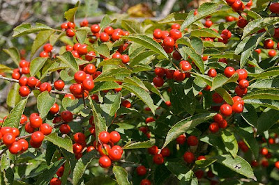 winterberry picture on 2 green acres, a Maryland garden blog