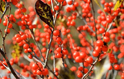 Winterberry at 2 Green Acres, Maryland garden blog