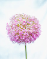 Purple Allium © Paul Edmondson