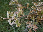 Frosty leaves - Bury Farm