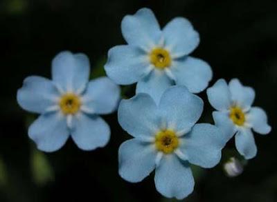 Fotos De Flores No Me Olvides - Todas somos reinas: No me olvidesForget me not