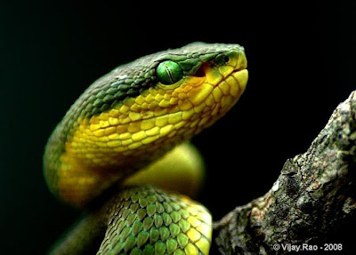 Snake earth: Bamboo Pit Viper