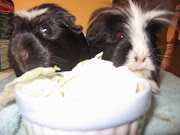 The Family Guinea Pigs