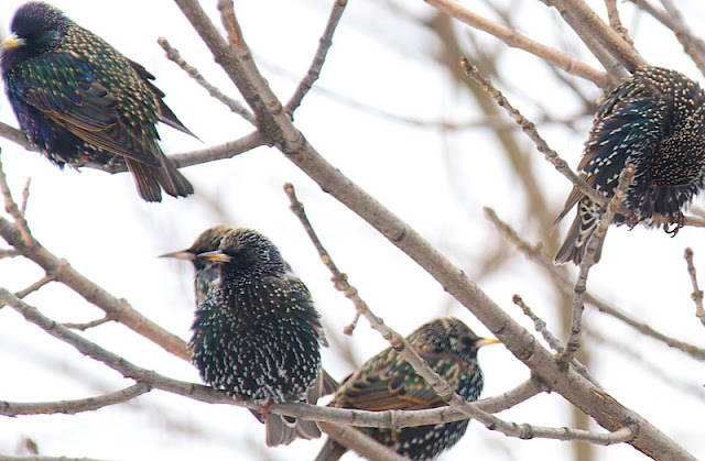 ...starlings sitting in a tree.
