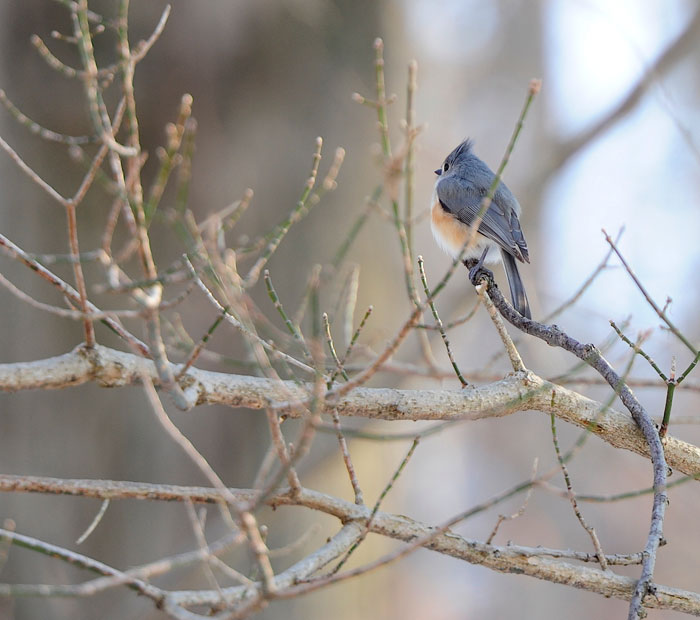 Tufted Titmouse (Baeolophus bicolor) in the cold of winter.
