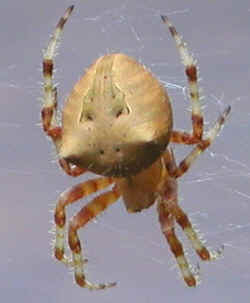 Pictures of Cat Face Spiders http://rooslife.blogspot.com/2009/09/cat-faced-spider.html