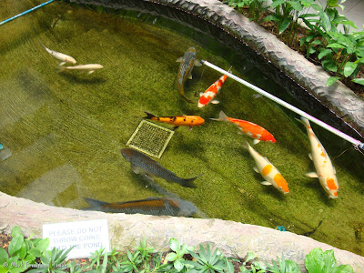 Singapore Koi Fish Photo
