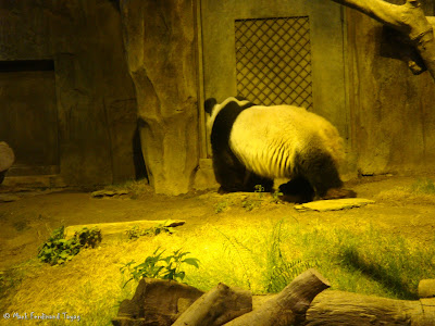 Giant Panda Habitat Ocean Park Hong Kong Photo 3