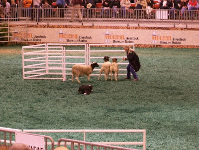 see the sheep dog trials