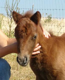 poney Shetland à vendre :